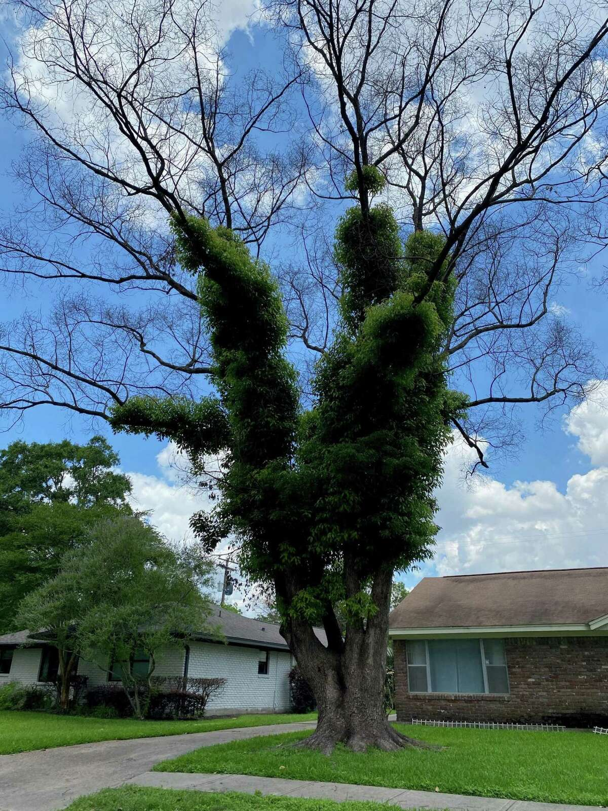 The tree in this front yard is an example of a zombie trees, half dead and half alive. It was damaged by Winter Storm Uri, with many branches left bare - and dead - but new green shoots coming from the center of the tree.