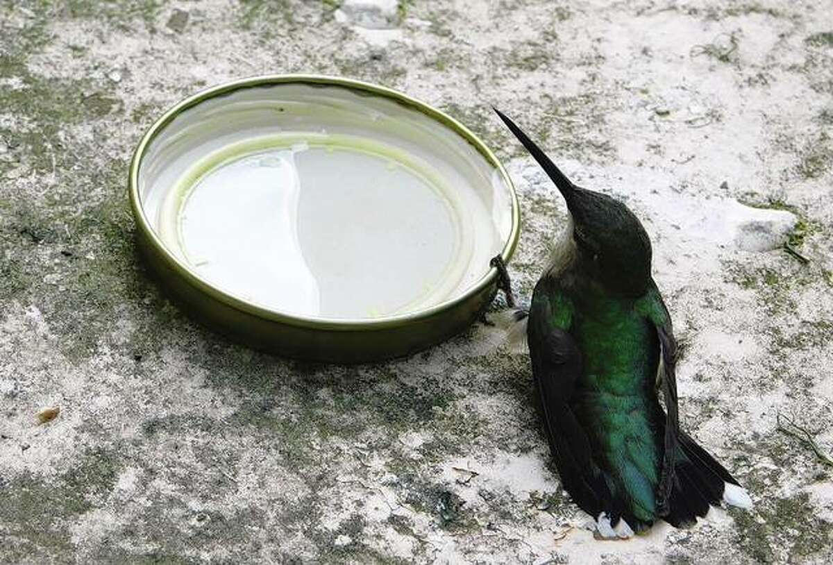 A baby hummingbird that was found on a barn floor, unable to fly, feeds from a lid. It eventfully regained strength and flew away.