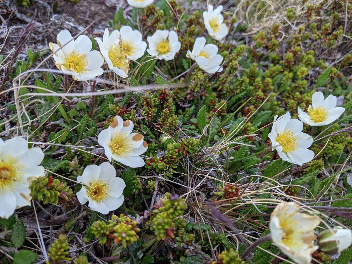Holtasoley, or mountain avens, is Iceland's national flower and grows wild across the Westfjords.