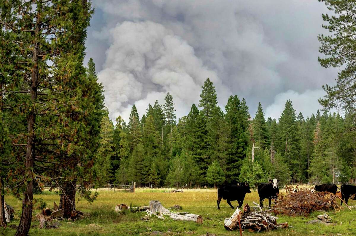Cows graze as smoke rises from the Dixie Fire burning in Lassen National Forest, near Jonesville, Calif. Growth of the Dixie Fire - the 13th largest wildfire in California's history - has slowed over the last few days, though Cal Fire warned that a weather forecast calling for hot, dry conditions could quickly change that.