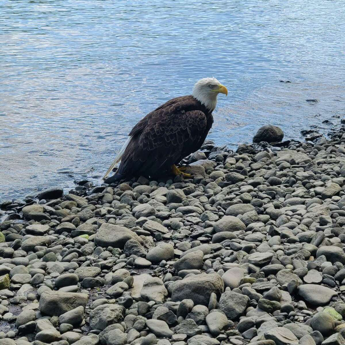 Firefighters and officials from the Department of Energy and Environmental Protection rescued an injured bald eagle from the Housatonic River Saturday.