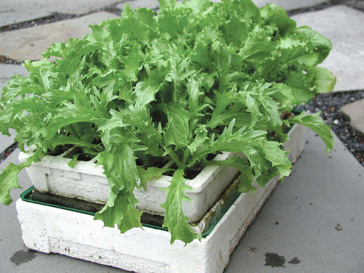 Endive seedlings are about ready to transplant into a vegetable garden to develop into delicious heads in autumn.