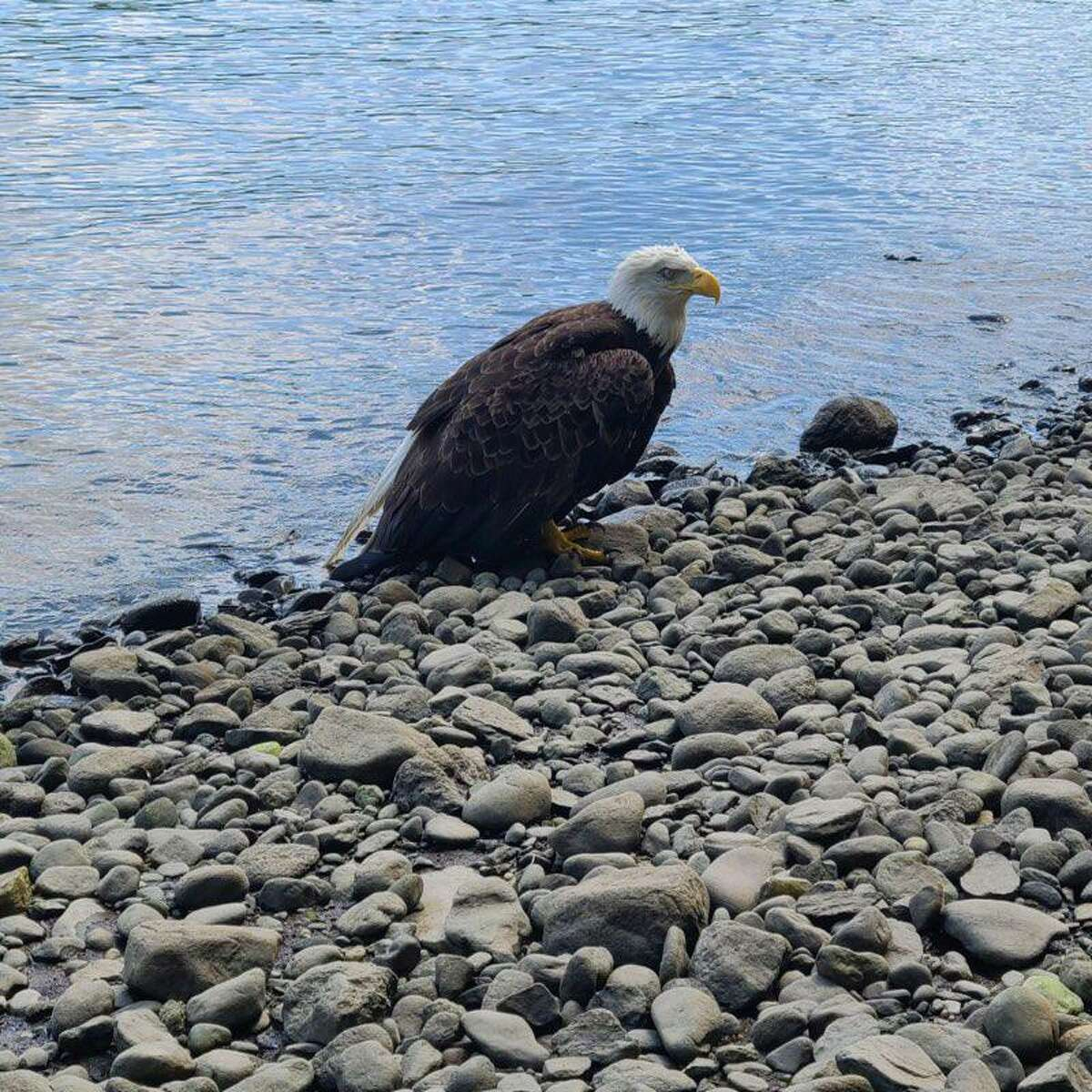 Shelton firefighters from Pine Rock Park, onboard Marine 1, assisted the state Department of Energy and Environmental Protection (DEEP) in recovering an injured bald eagle from the Housatonic River Saturday, July 31, 2021.