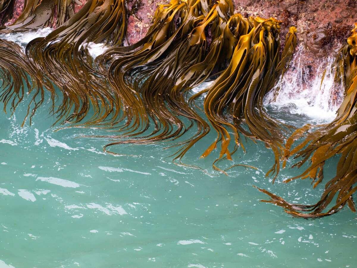Bull kelp (Durvillaea antarctica) is waving in the surf on a rocky coastline