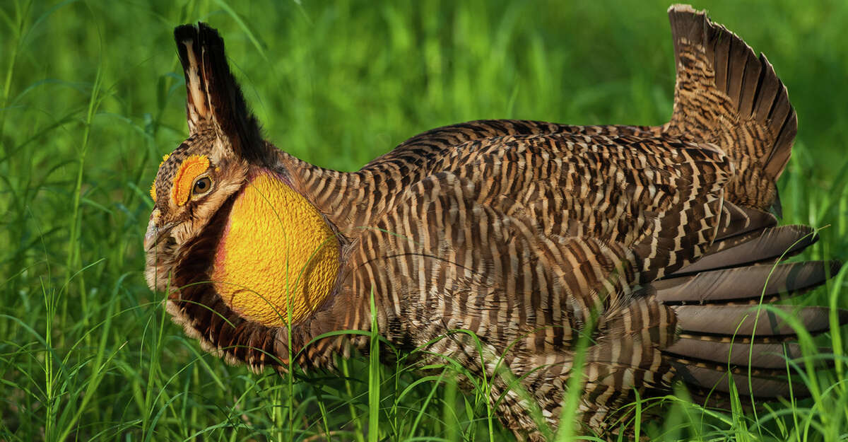 The population level for the endangered Attwater's prairie chicken has reached a 28-year high thanks to habitat restoration and a robust captive-breeding program.