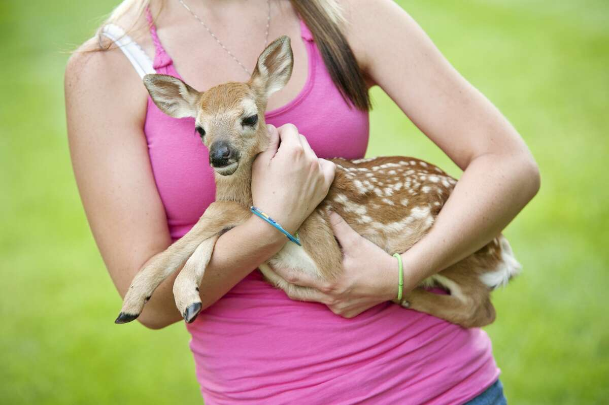 """Mother deer will leave fawns for hours at a time to keep from attracting predators to them. Sometimes humans, upon seeing a baby deer fawn left alone, will worry and try to help it- which can have harmful consequences. """"The public does not believe that anything should ever be without its mother,"""" says wildlife rehabilitator Barbara """"Missy"""" Runyan."""