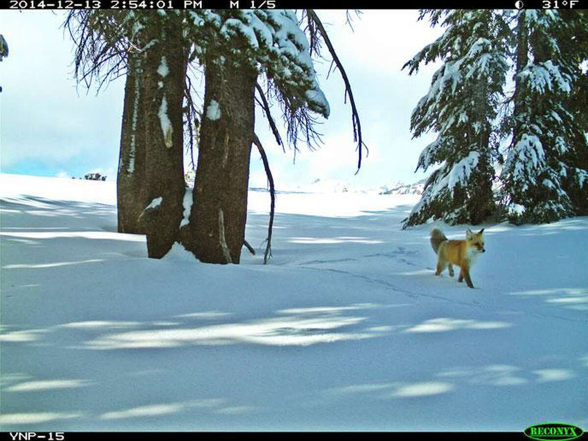 A Sierra Nevada Red Fox was captured by a motion detector camera in the far northern part of Yosemite National Park.