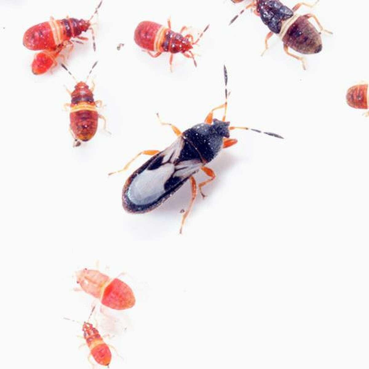 Chinch bugs