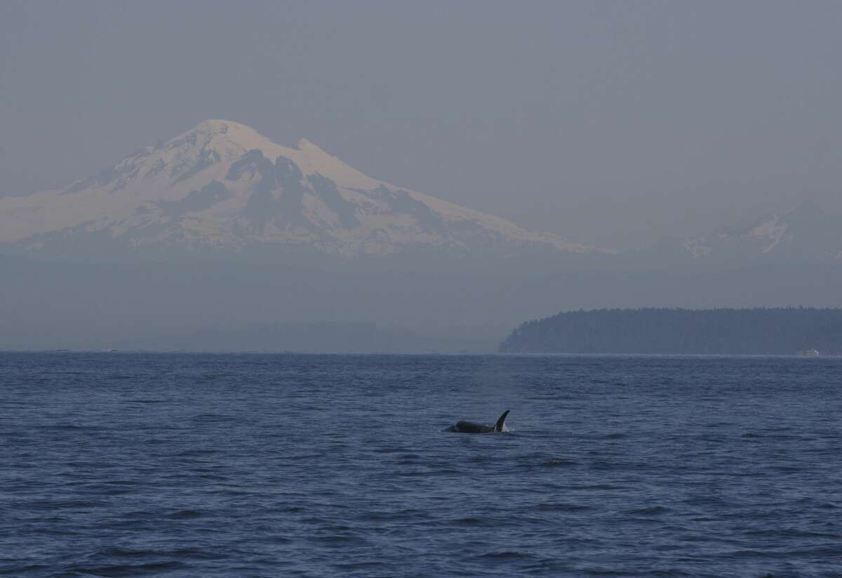 A member of the K-pod swims north of Stuart Island with Mount Baker in the background.