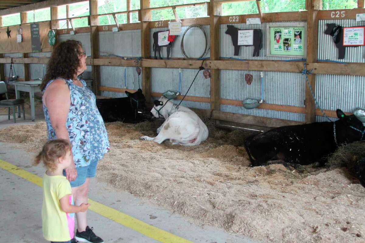 Manistee County Fair-goers look at 4-H cows during a past fair. This year, cattle judging will take place at4 a.m. on Aug. 17.(File photo)