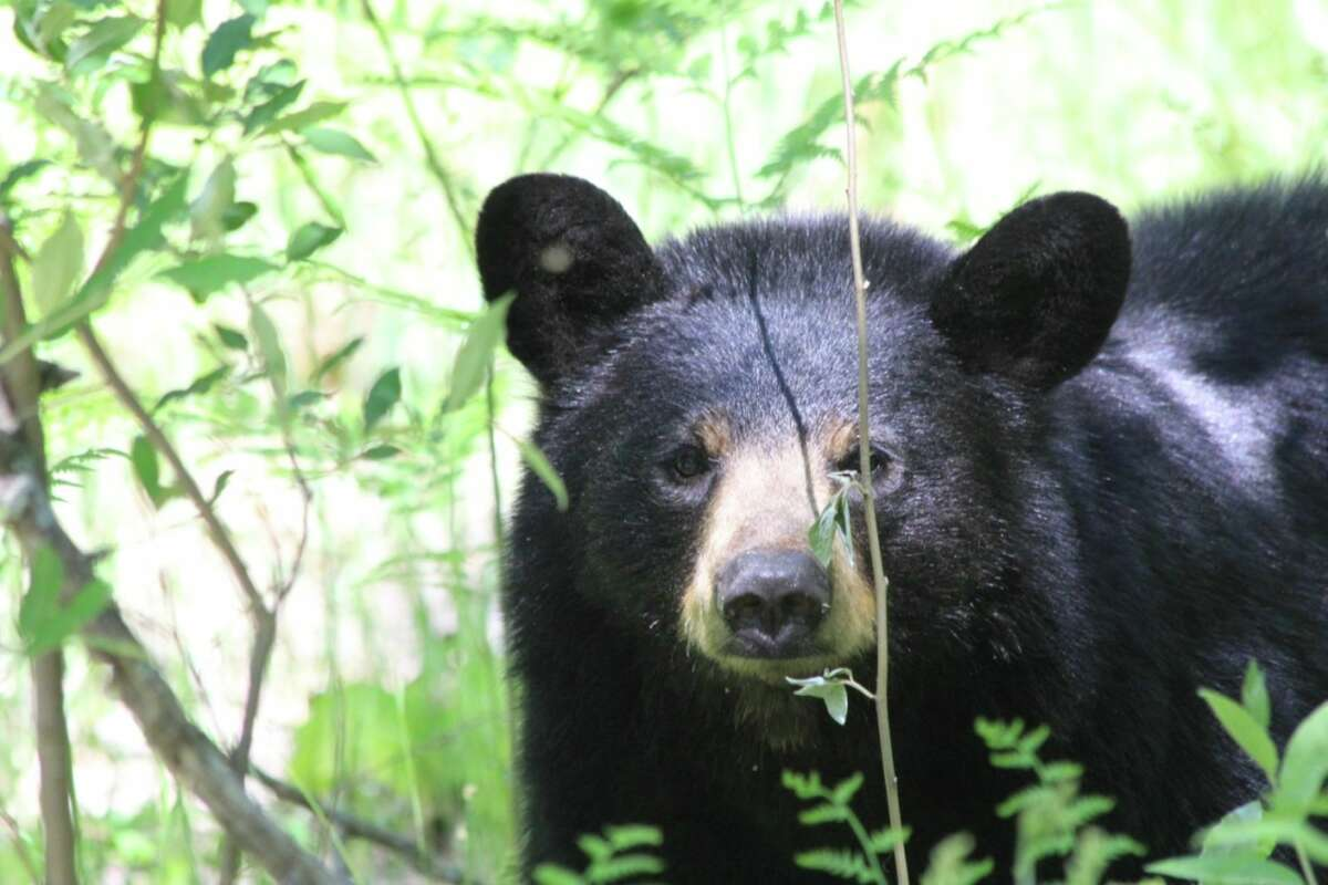 FILE - This picture of a bear was captured on a ranch located six miles west of Baldwin, Michigan.