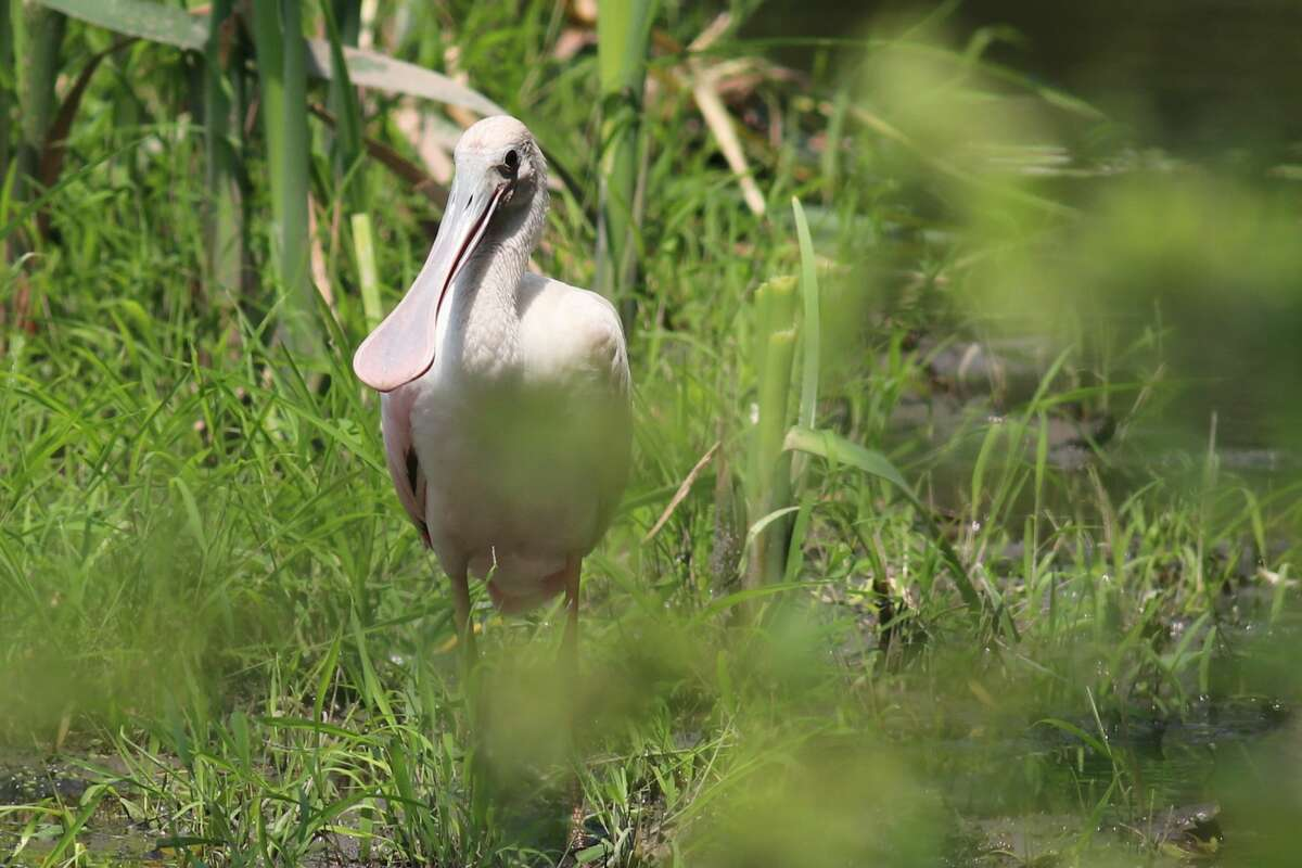 Roseate Spoonbills are usually found along the Gulf Coast in states like Florida and Louisiana. This year, a juvenile spoonbill was spotted in Dutchess County for the very first time.