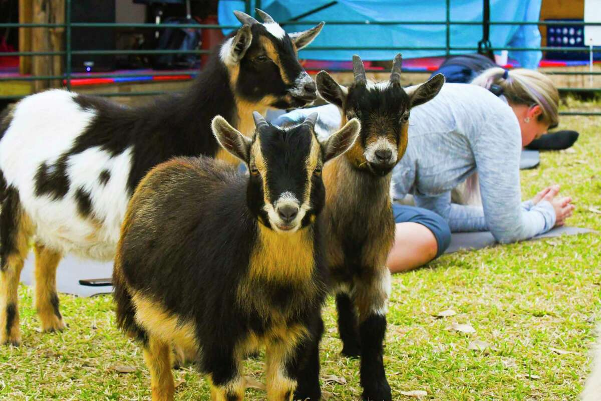 Victoria's Natural Market will present a session with Goat Yoga Texas at 10 a.m. on Aug. 7.