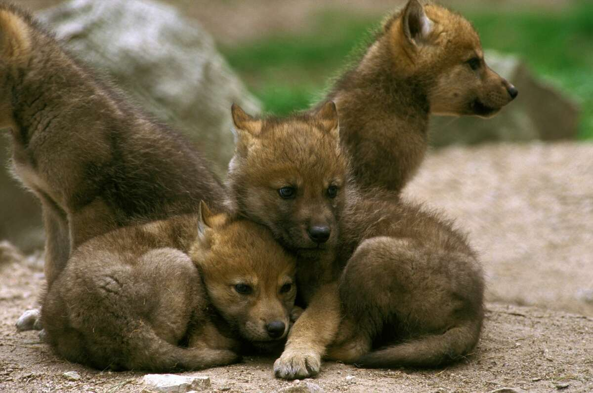 A file photo of grey wolf pups.