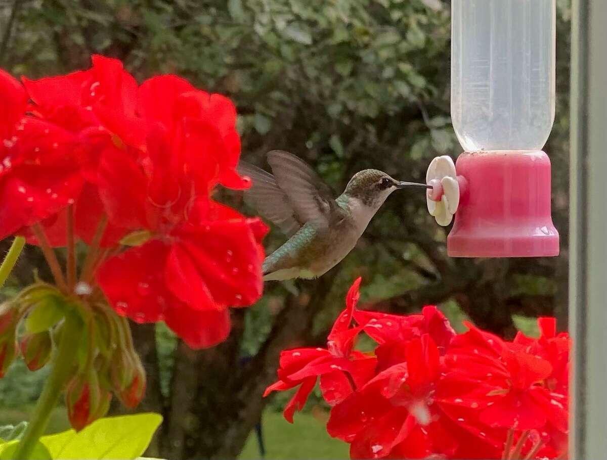 The hummingbirds are plentiful this season, notes Dick Rosbrook of Kinderhook.