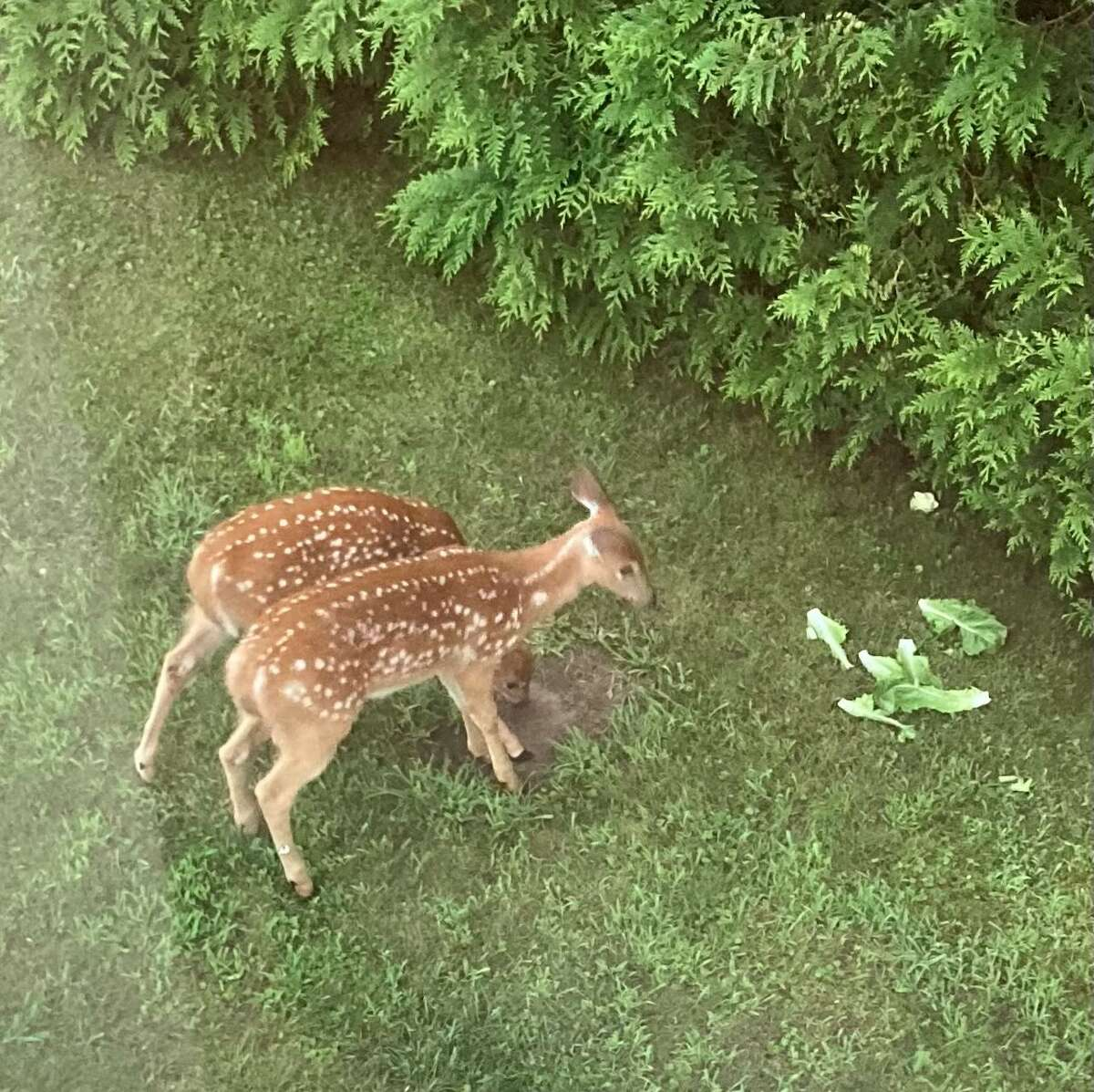 Though EHD cannot infect humans, it causes fever and hemorrhaging in deer, which can appear lame or dehydrated and often seek out water sources before perishing. Deer can die within 36 hours of infection, according to the DEC.