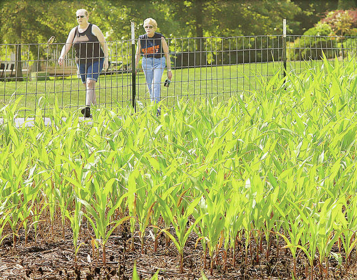 Two women walk in Godfrey's Glazebrook Park past this year's crop for the Great Godfrey Corn Maze. Village trustees on Tuesday night voted to cancel this year's maze because the corn is too short. Godfrey also had to cancel the maze last year because of COVID-19 concerns.