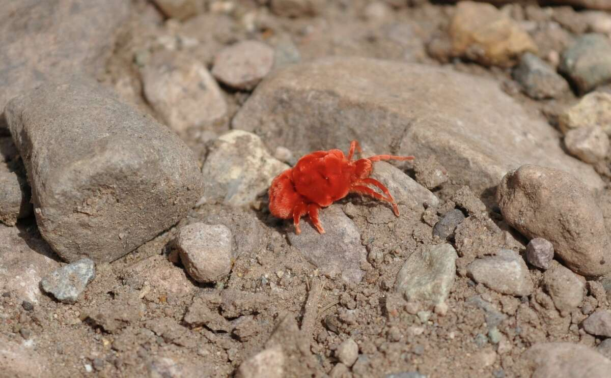 A cute red velvet mite, also known as a summer rain bug, was spotted at Big Bend National Park.
