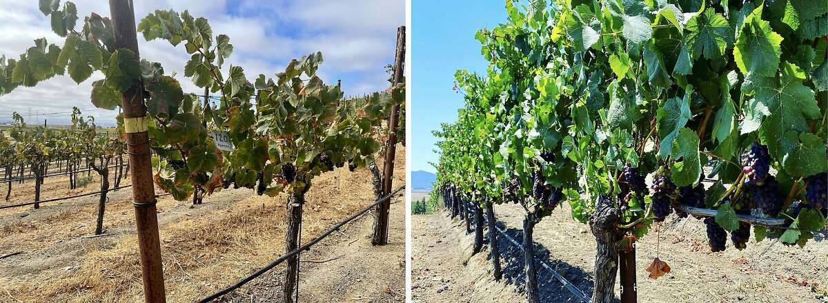 Pinot Noir vines at Griffin's Lair shown on August 4, 2021 (left) are parched and weak due to the drought. Last year's crop (right) was healthy.
