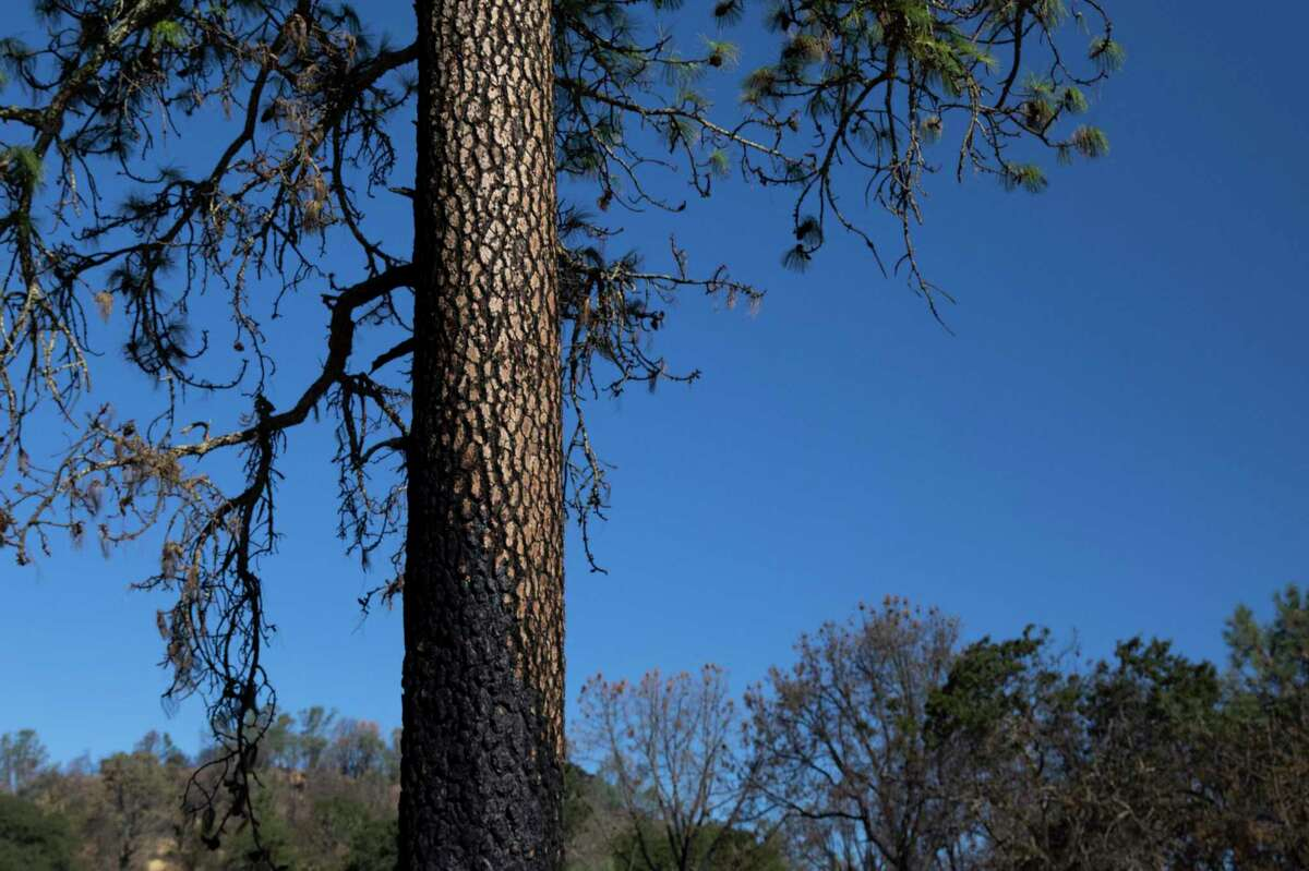 A partially burnt tree at Dunn Vineyard, Randy Dunn's property on Howell Mountain in Angwin. Dunn says the conversation needs to start focusing on what individuals can do when a wildfire actually starts rather than focusing solely on preventive measures.