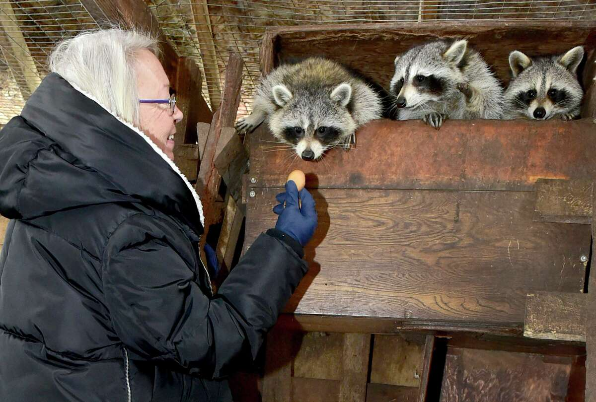 Guilford, Connecticut - Friday, February 05, 2021: Eunice Demond (CQ) of Guilford, a state permitted and regulated raccoon rehabilitator, has for years cared for rescued raccoons in comfortable and safe state regulated enclosures in her backyard, preparing them to be reintroduced back into their habitat.