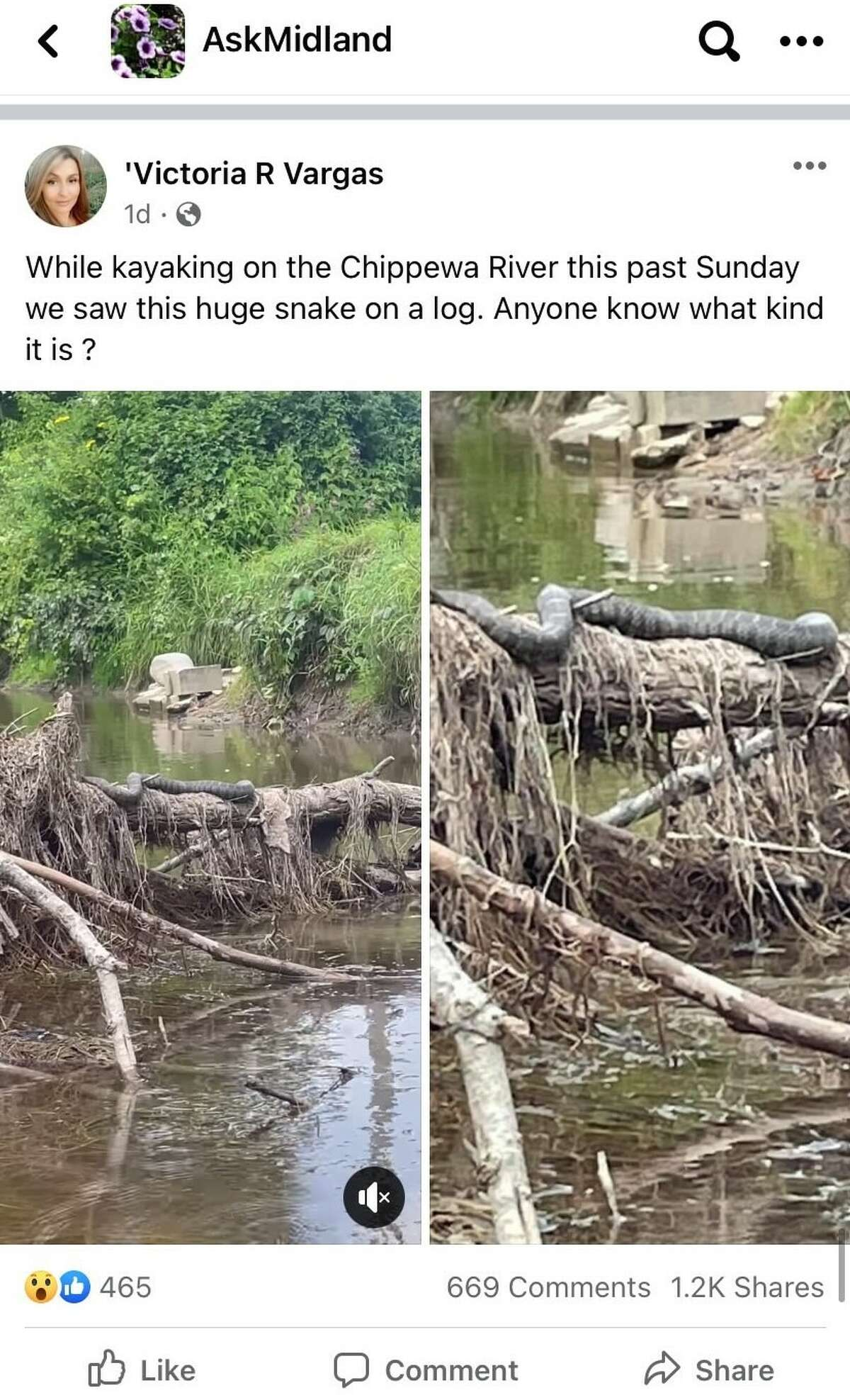 Victoria Vargas' original post on AskMidland, a Facebook group for Midland residents, shows the northern water snake in its natural habitat.