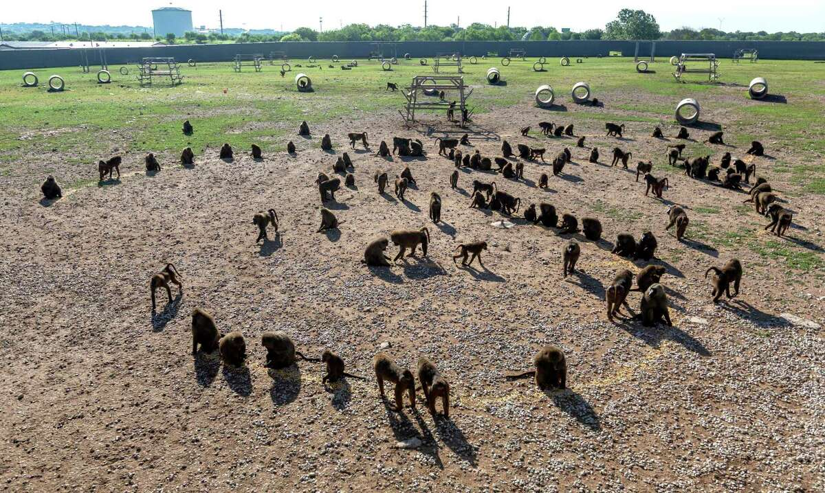Baboons eat food Wednesday, June 16, 2021 spread across the ground at their enclosure at the Southwest National Primate Research Center at the Texas Biomedical Research Institute near Loop 410 and Hwy 151. The facility has been awarded more than $37 million from the National Institutes of Health to continue operations into 2026. Food is often spread like this for the primates because they are omnivores that naturally forage.