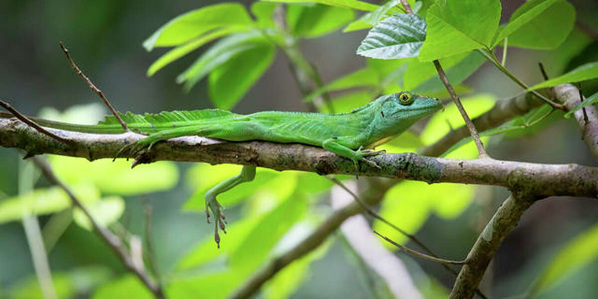 The Puerto Rican giant anole with toepads on display. Biologists at Washington University in St. Louis discovered that species have evolved for specialized life in trees at least 100 times in thousands of lizards.