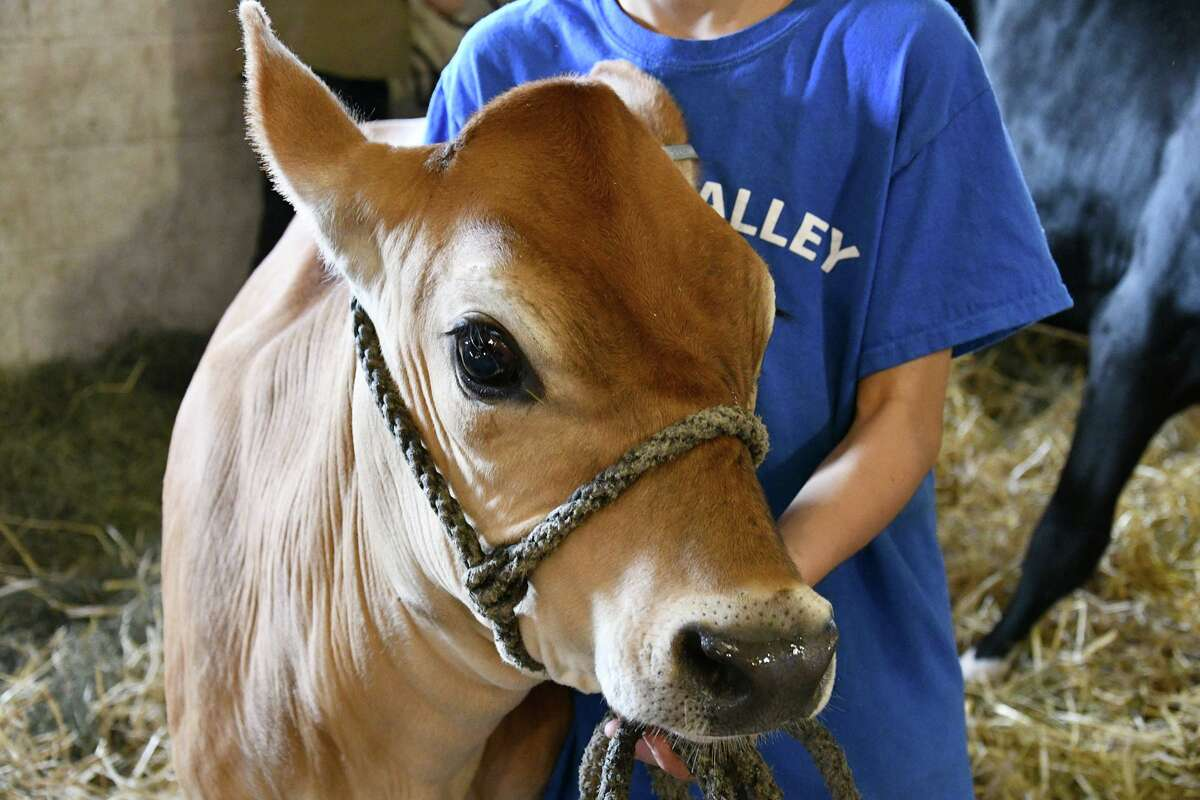 The 2021 Litchfield County 4H Fair will be held Aug. 7-8 at the Goshen Fairgrounds. Pictured is a member with her cow at the 2019 fair.