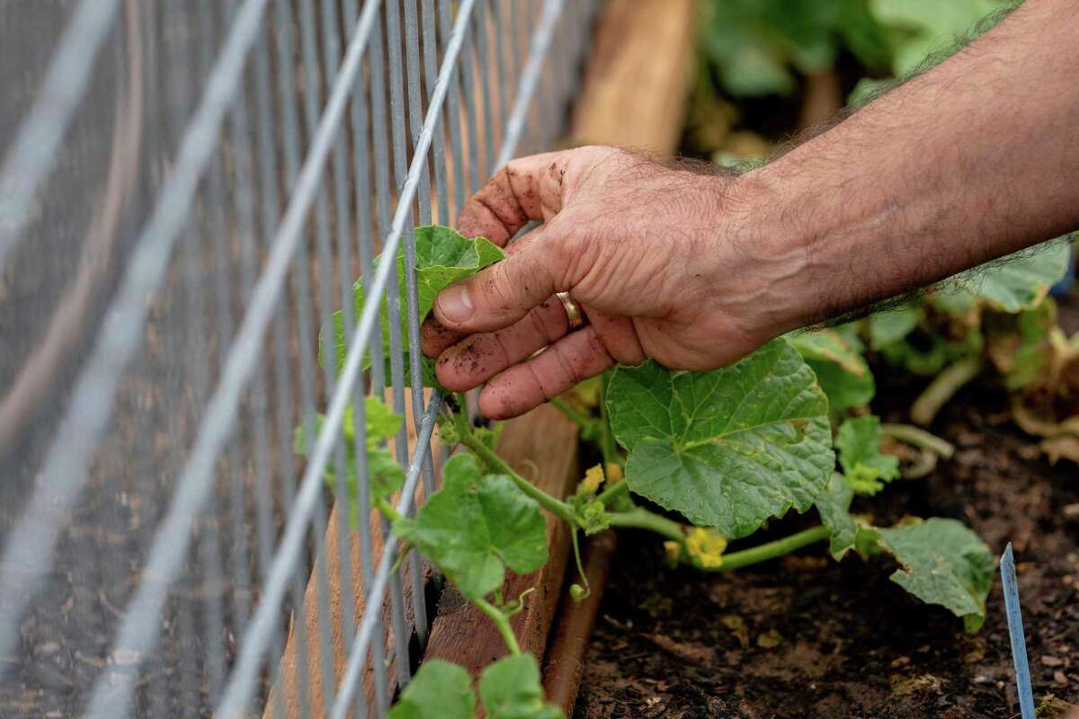 The ideal time to plant cucumbers is now through mid-August.