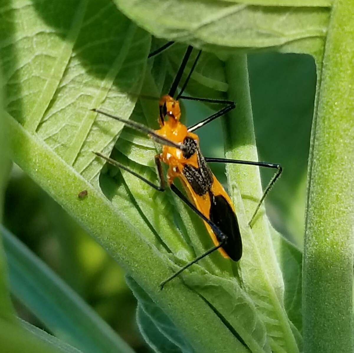 Assassin bugs are predatory insects that are considered beneficial for the garden.