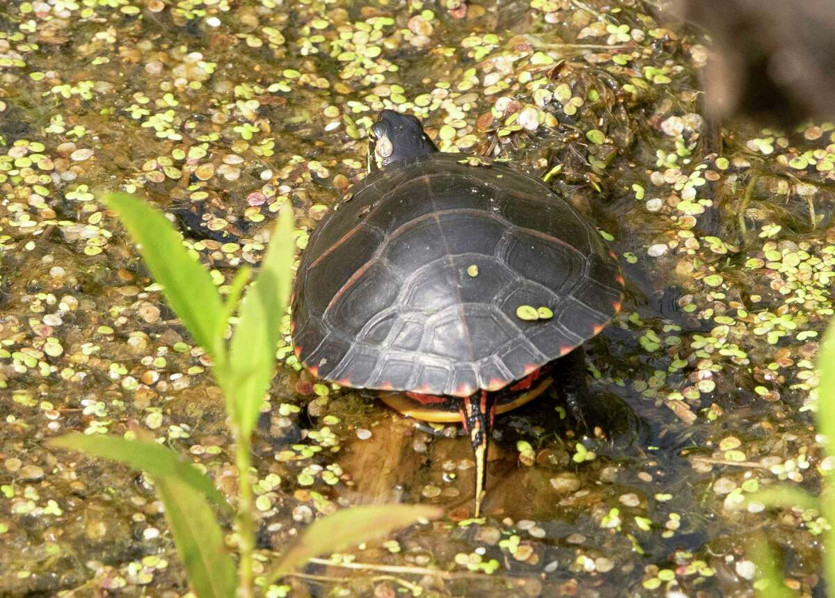 A turtle is seen in the water at the Round Lake Preserve on Wednesday, Aug. 4, 2021 in Mechanicville, N.Y.