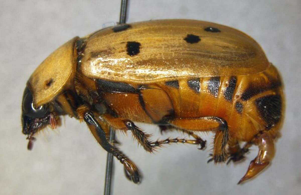A specimen of Cyclocephala forcipulata, a first in nation pest interception made by CBP agriculture specialists at Pharr International Bridge within boxes of jackfruit.