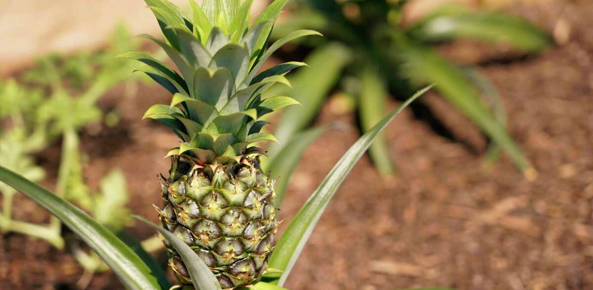Pineapples can only develop sugar while attached to the plant and may still be green when ripe.