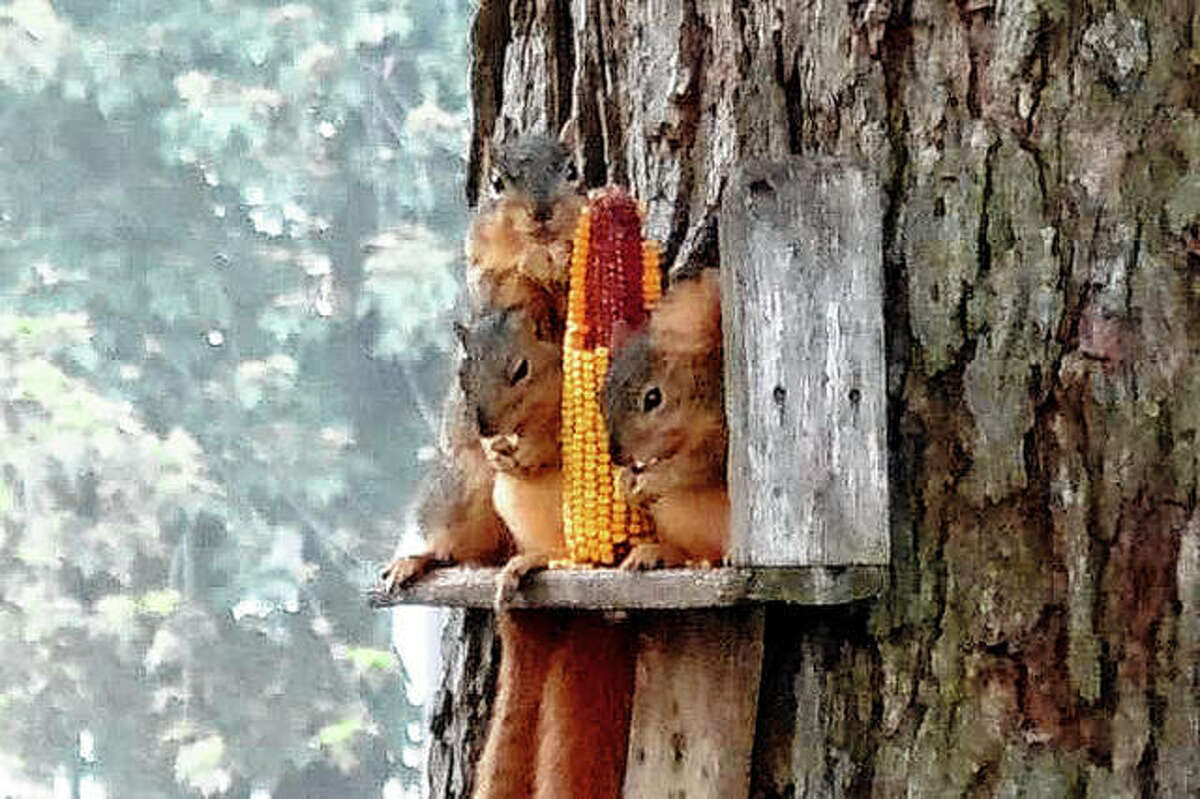 A squirrel jockeys for position as two others keep close tabs on a cob of corn in a feeder in a yard in Roodhouse.