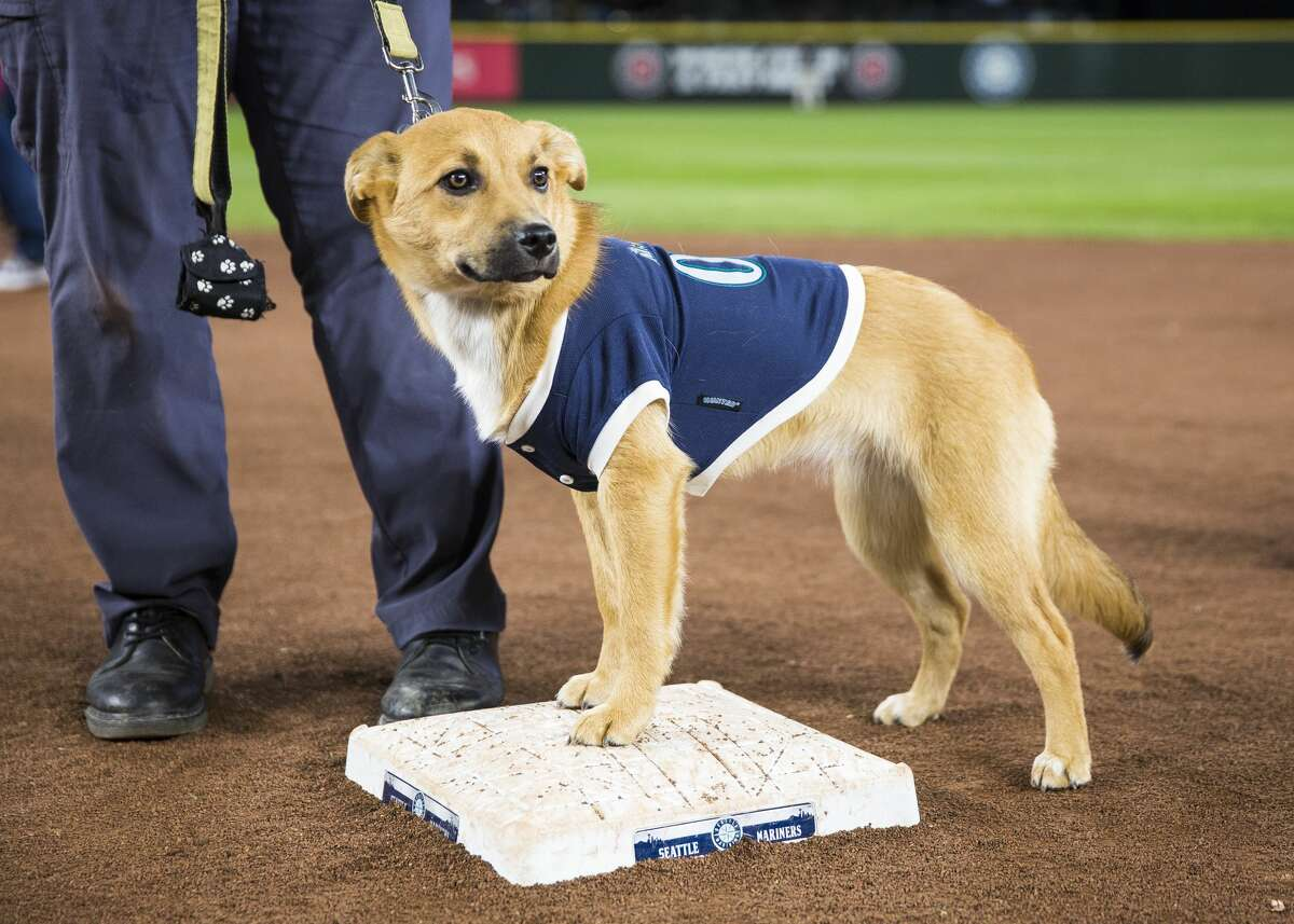 """SEATTLE, WA - APRIL 17: A young dog in a Mariners dog jersey stands on second base during """"Bark at the Park"""" night after the game at Safeco Field on April 17, 2018 in Seattle, Washington. The Houston Astros beat the Seattle Mariners 4-1. (Photo by Lindsey Wasson/Getty Images)"""