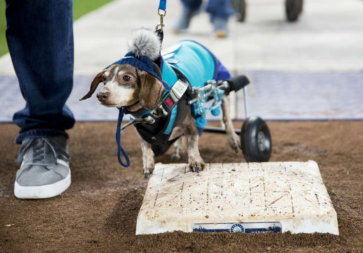 """SEATTLE, WA - APRIL 17: A daschund decked out in Mariners gear wheels towards first base during """"Bark at the Park"""" night after the game at Safeco Field on April 17, 2018 in Seattle, Washington. The Houston Astros beat the Seattle Mariners 4-1. (Photo by Lindsey Wasson/Getty Images)"""