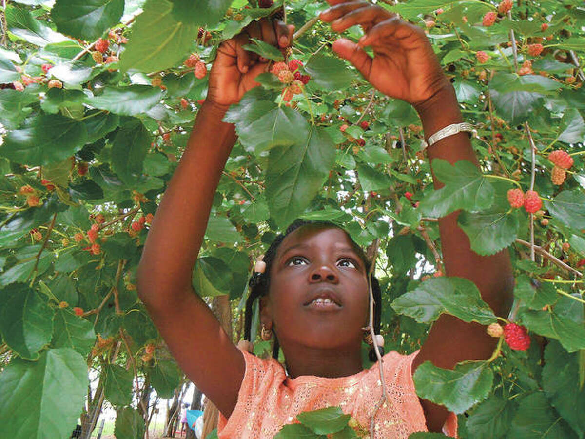 A student searches for ripe mulberries in a children's garden.