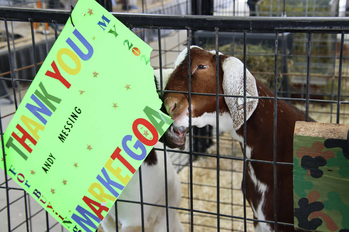 Two market goats were up to some mischief August 7.