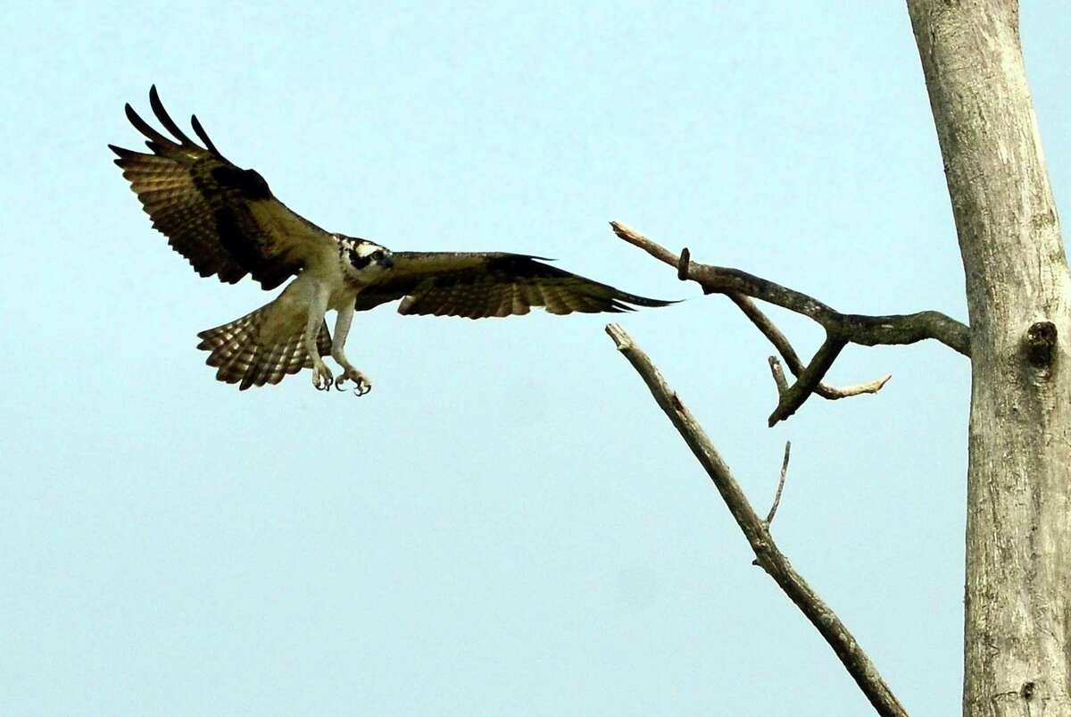 An osprey lands on a tree as students take part in Audubon Connecticut's Wildlife Guards, a summer program to track and help protect wildlife at Pleasure Beach in Bridgeport, Conn., on Wednesday July 10, 2019. The kids patrol Pleasure Beach throughout the summer to monitor nesting birds and educate the public.
