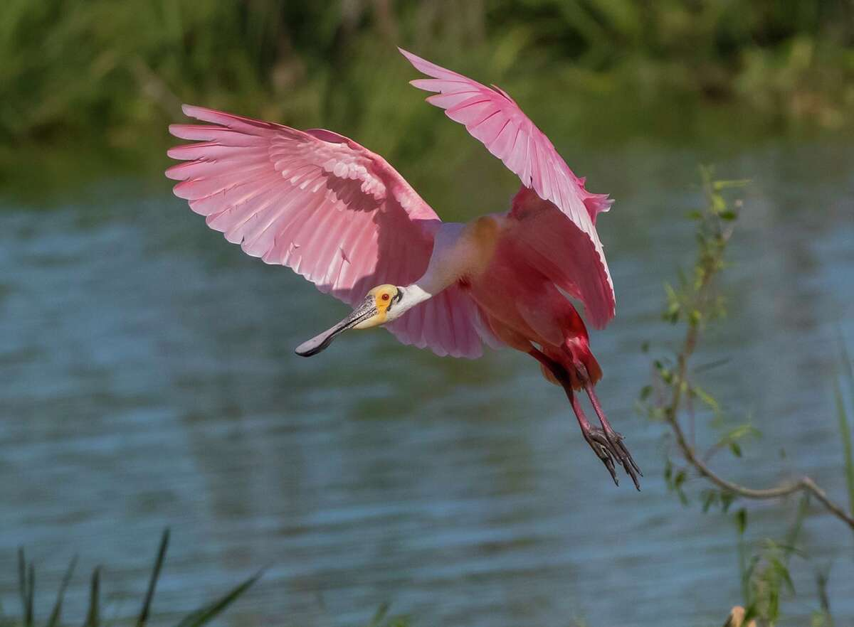 A Roseate Spoonbills is shown this past spring.