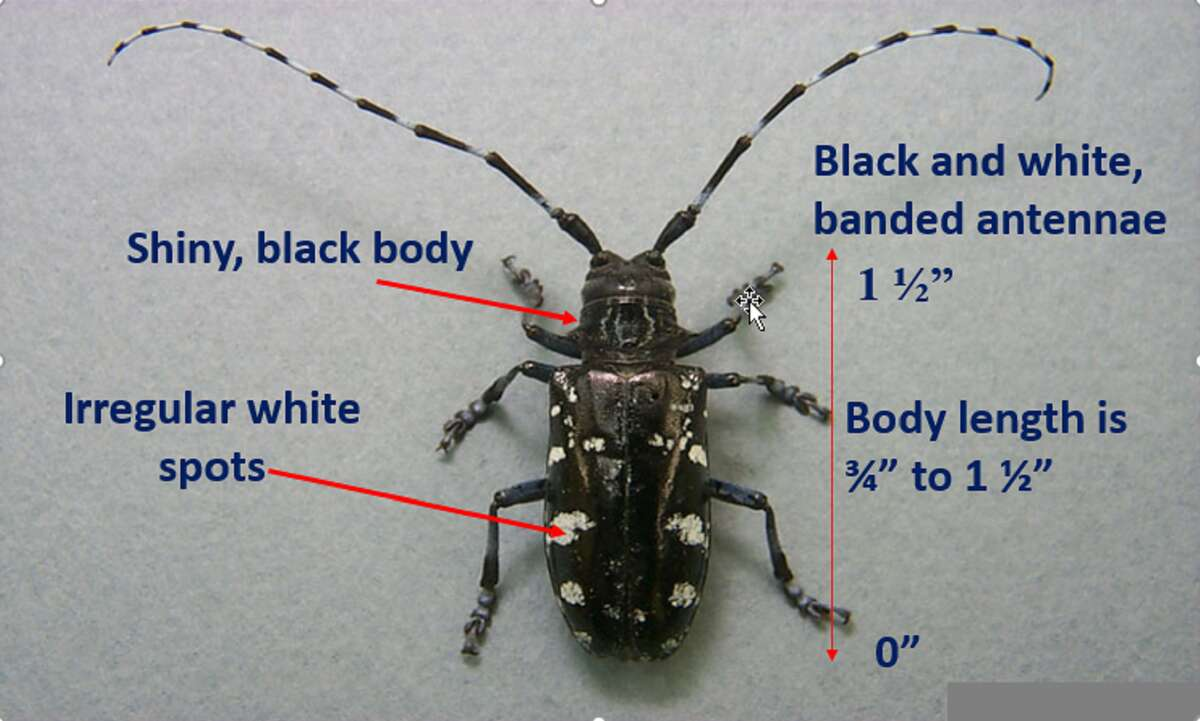 The Asian longhorned beetle is a large, shiny black beetle with irregular white spots and black and white banded antennae.