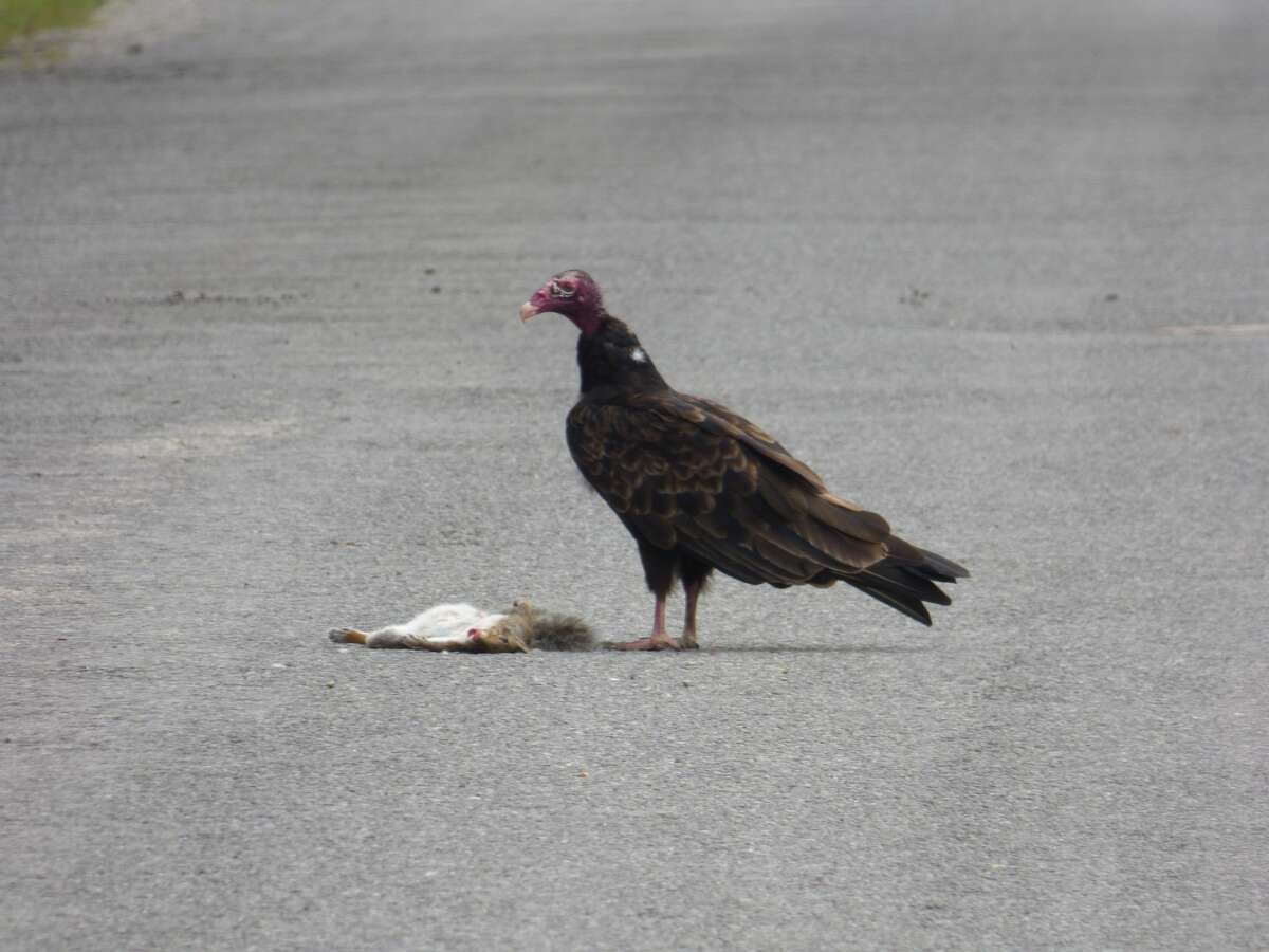 A vulture finds fresh roadkill near Eastlake
