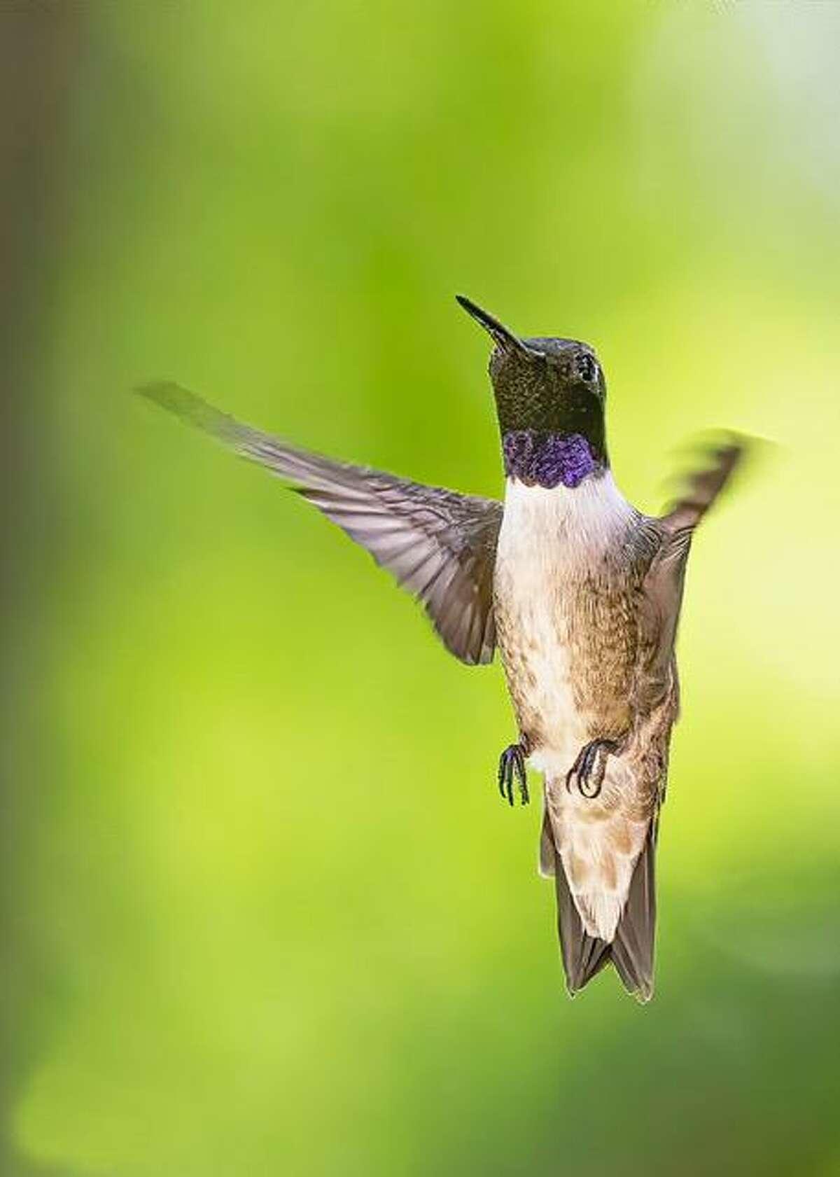 A male black-chinned hummingbird in San Antonio