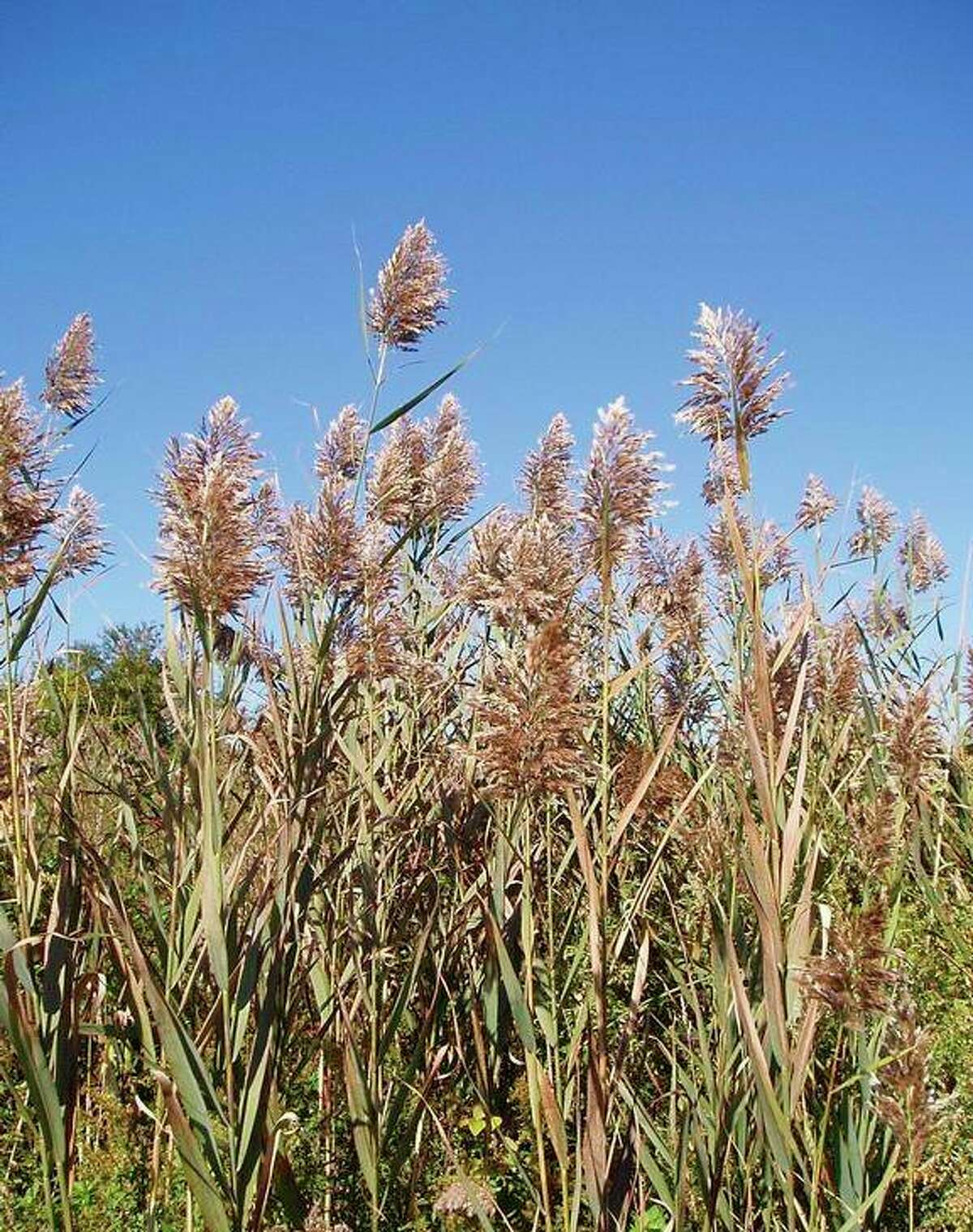Phragmites will grow in dense monocultures as pictured. (Photo courtesy of Leslie J. Mehrhoff, University of Connecticut)