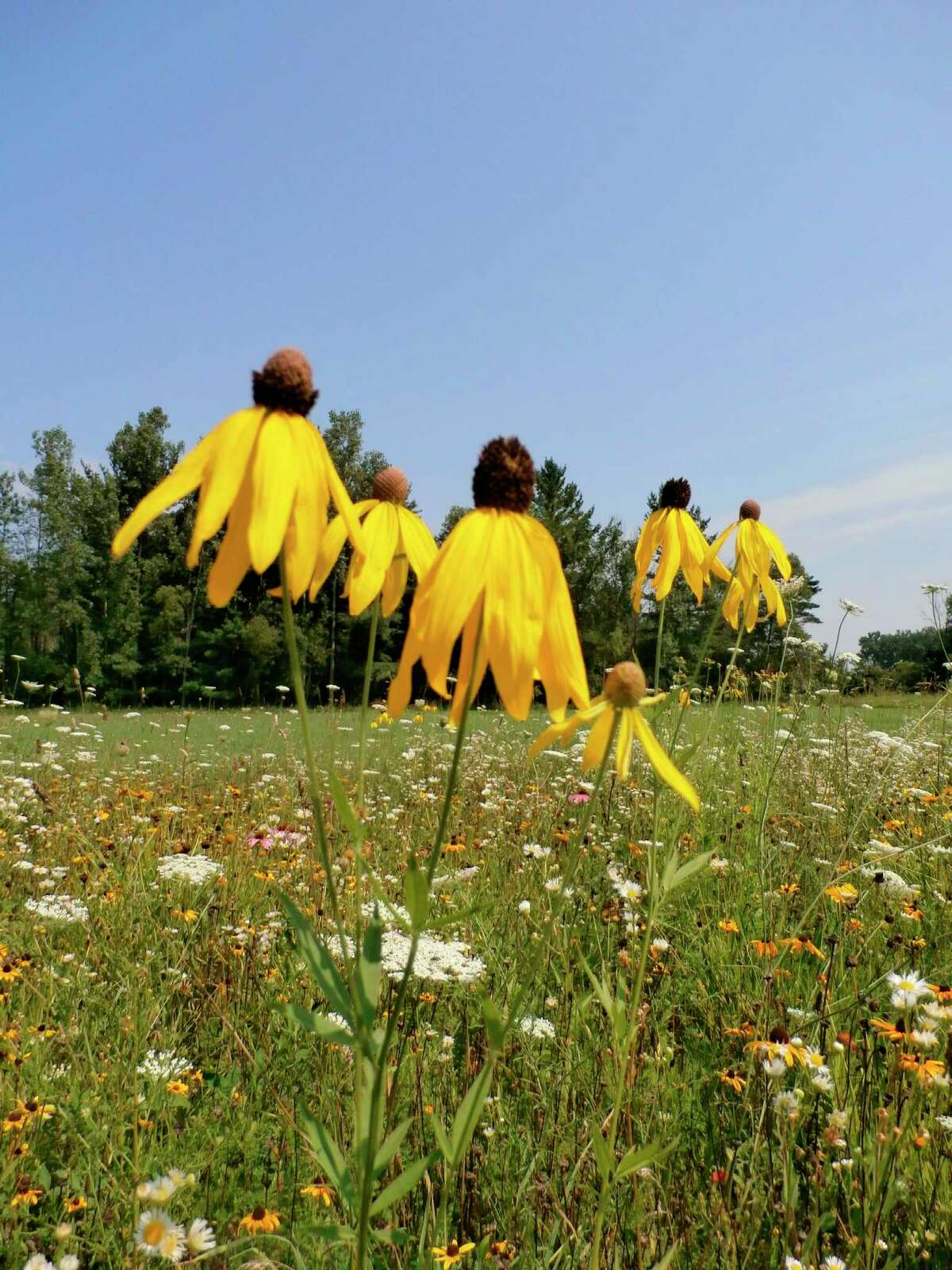Yellow corn flowers. (Photo provided/McLean Nature Preserve)