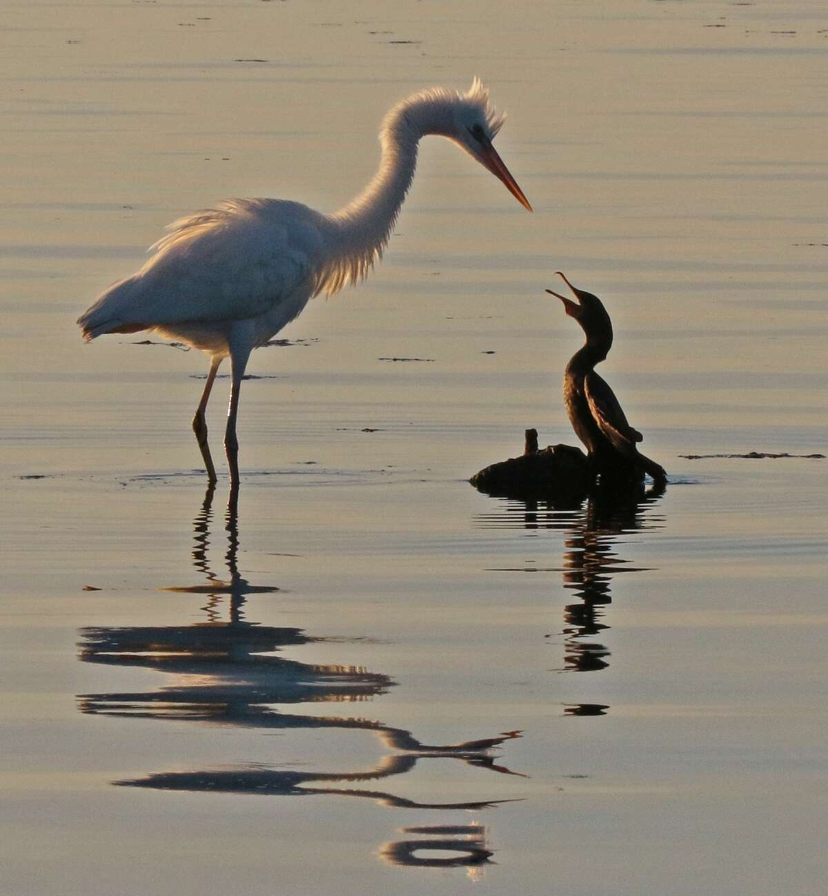 The small cormorant stod its ground, and the egret eventually left. picture taken in Key Largo, Fla., by Joe Sheehan of Voorheesville.