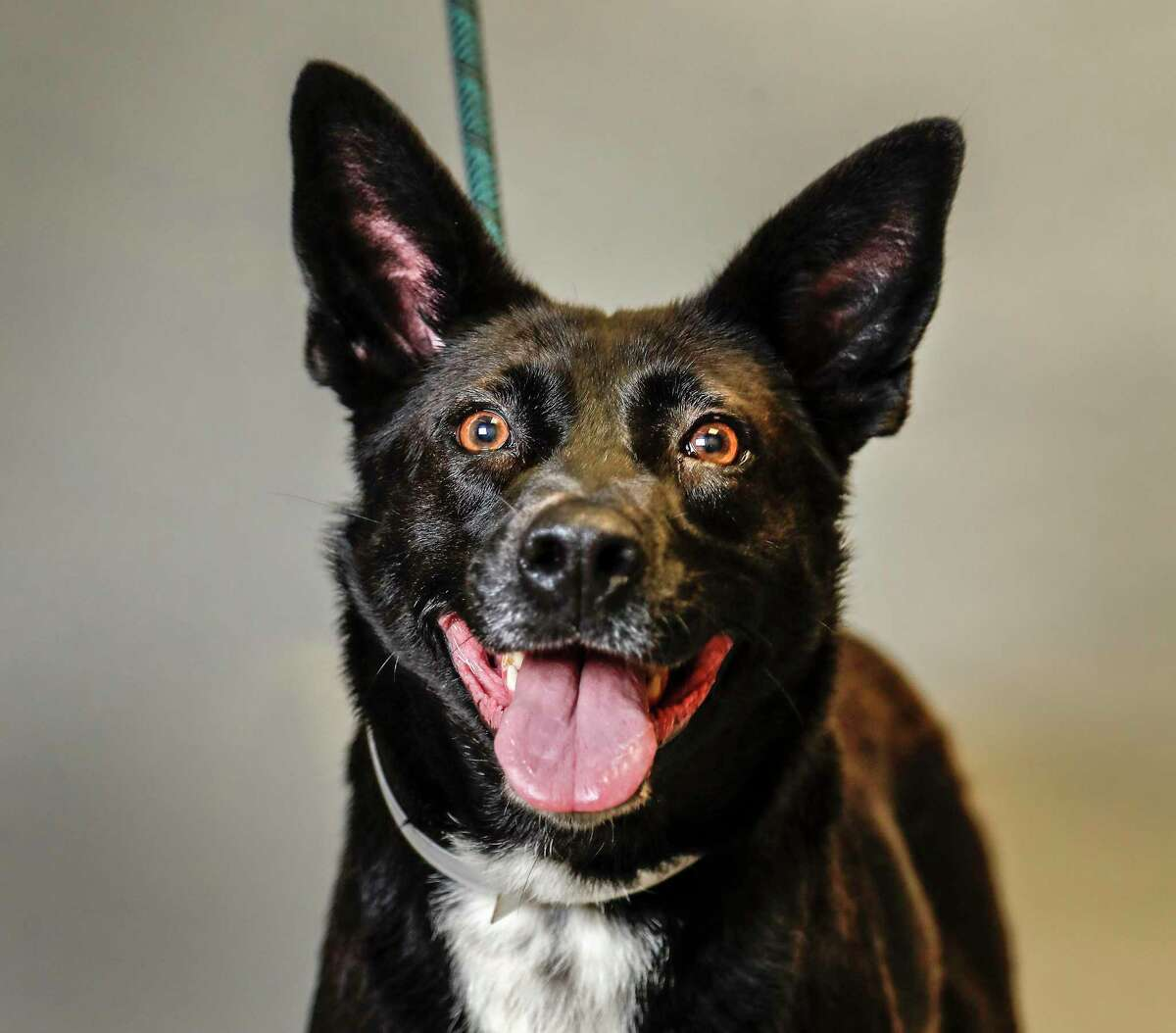 Montgomery County Animal Shelter will offer a low-cost spay and neuter clinic on Aug. 14 at the West County Community Center. Shown here is a dog that was up for adoption at the animal shelter in 2019.