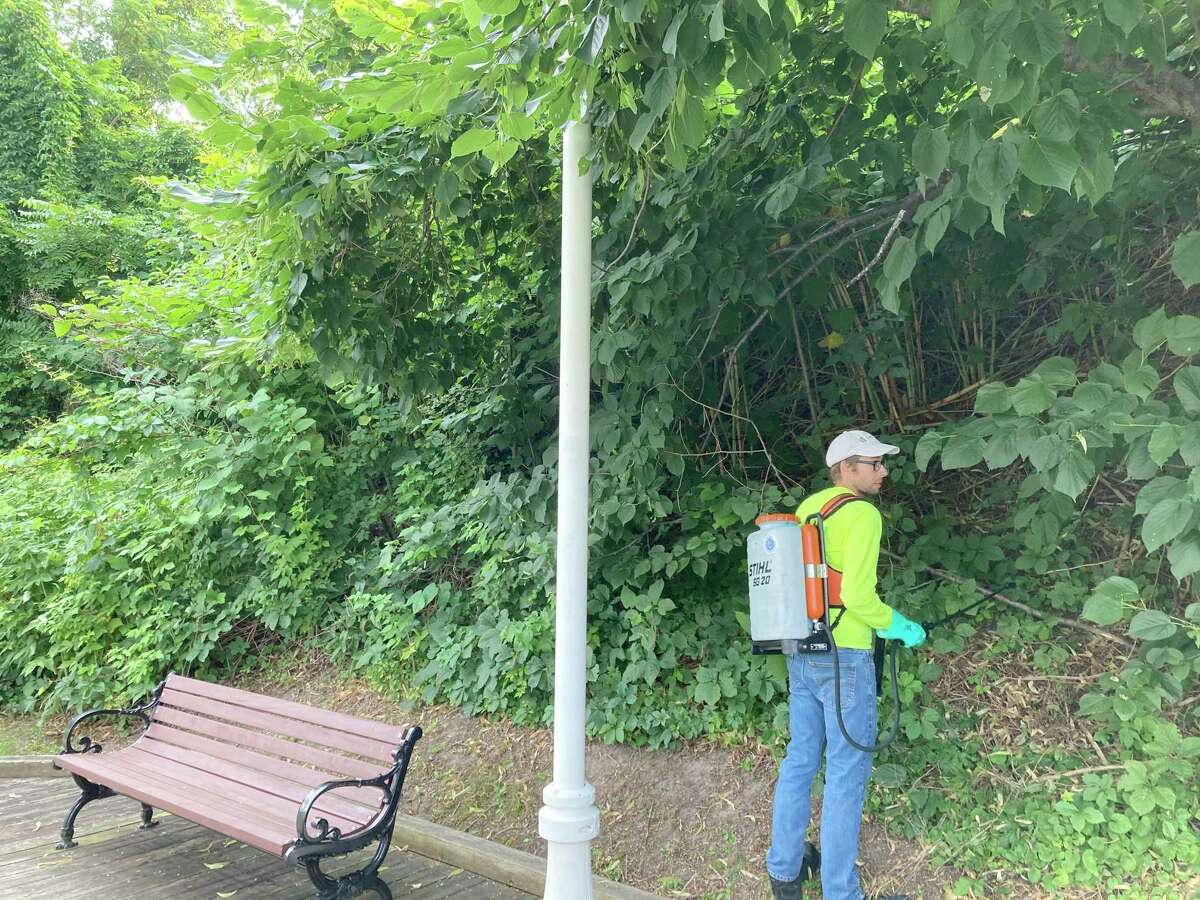 OnThursday, theNorthwest Michigan Invasive Species Network'streatment crew completed a round of treatment on the large knotweed stand that had begun to take over the area. Multiple years of treatment will be necessary and are being coordinated by Manistee'scity leadership. (Courtesy photo)