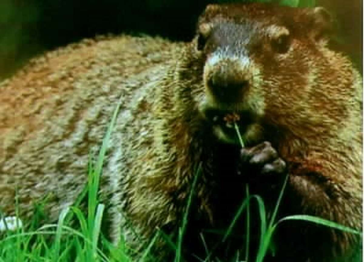 """In a playful photo blend, Kathy Hedgeman of Ballston Spa thinks she found the answer to the age-old riddle, """"how much wood culd a woodchuck chuck if a woodchuck could chuck wood?"""" A lot, apparently."""